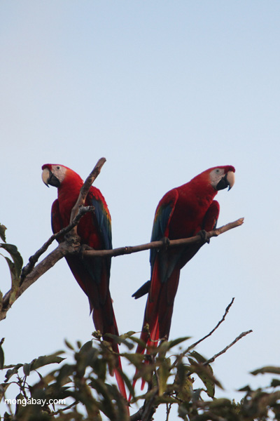 Scarlet macaws in Manu National Park. Photo by: Rhett A. Butler.