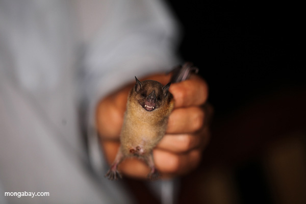 Many, many people fear bats (not like this researcher in Peru), but bats play a number of vital roles in ecosystems, from dispersing seeds to pest control. Photo by: Rhett A. Butler.