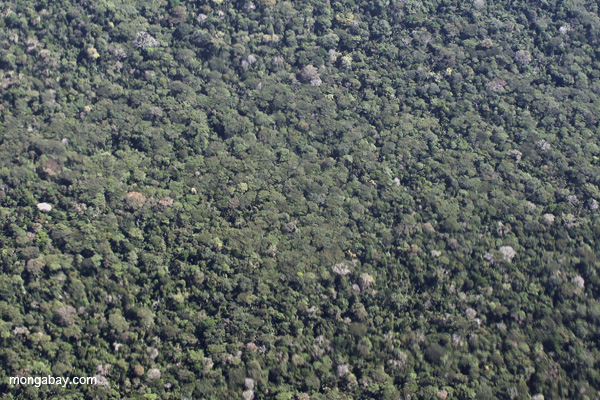 Dense 'broccoli forest' amid rainforest in the Amazon