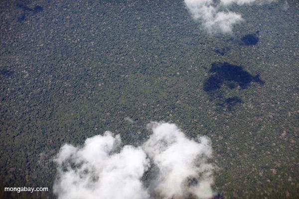 Amazon broccoli forest