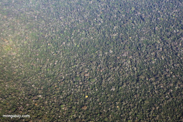 Aerial picture of flowering trees and rainforest canopy in Peru's Ucayali department