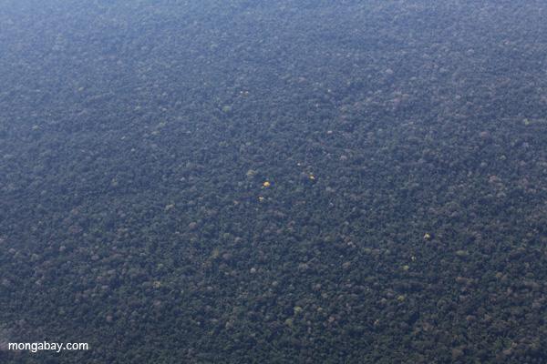 Yellowing flowering trees in Peru's Tambopata Reserve