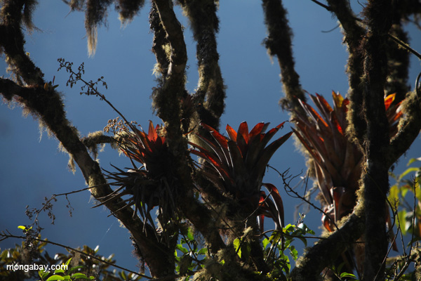 Red bromeliads in the cloud forests of Peru. Photo by Rhett A. Butler.