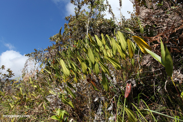 Cloud forest orchids