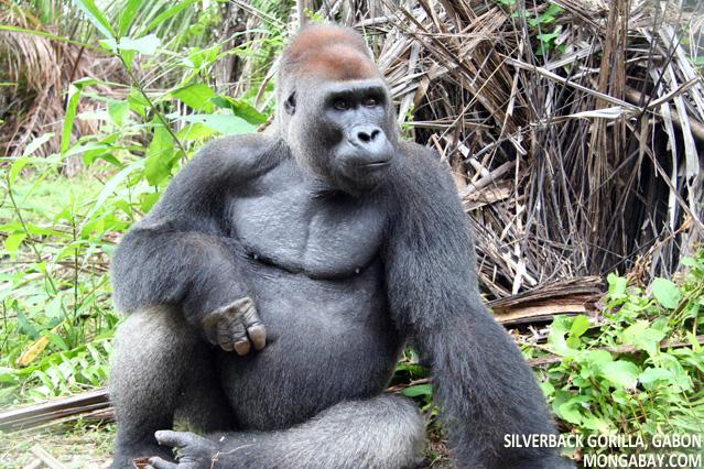 Gorilla tourism