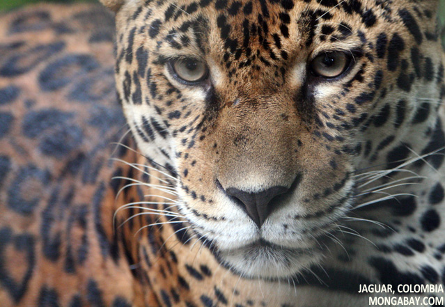 Jaguar in the Colombian Amazon
