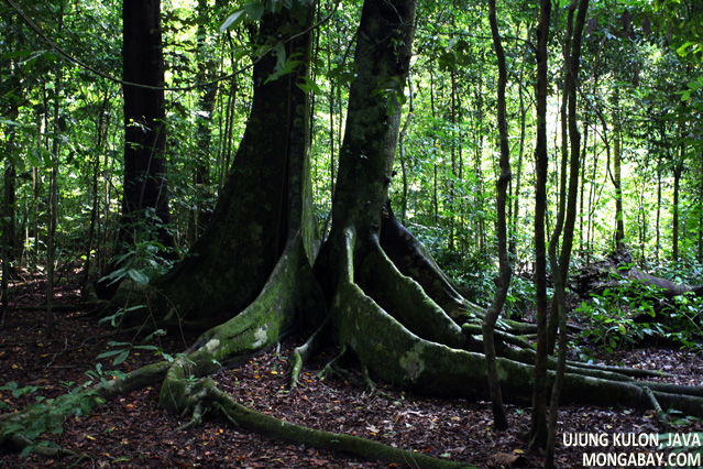Rainforest understory in Java's Ujung Kulon