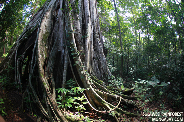 Buttress roots of giant strangler fig tree in Sulawesi