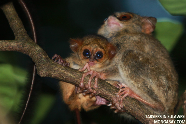 Tarsiers in Sulawesi