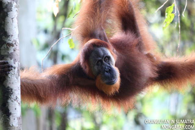 Adult male orangutan in Sumatra, Indonesia
