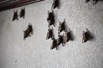 Bats -- sabah_0104