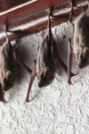 Bats -- sabah_0117