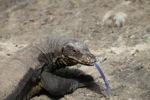 Monitor lizard in Borneo
