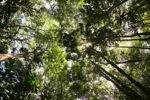 Sapi Pulau Hutan
