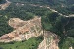 Oil palm plantation -- sabah_0594