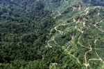 Oil palm plantation -- sabah_0924