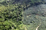 Oil palm plantation -- sabah_1042