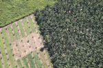 Oil palm plantation -- sabah_1057