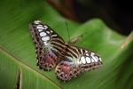 Clipper butterfly (Parthenos sylvia) -- sabah_2555