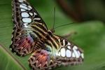 Clipper butterfly (Parthenos sylvia) -- sabah_2558