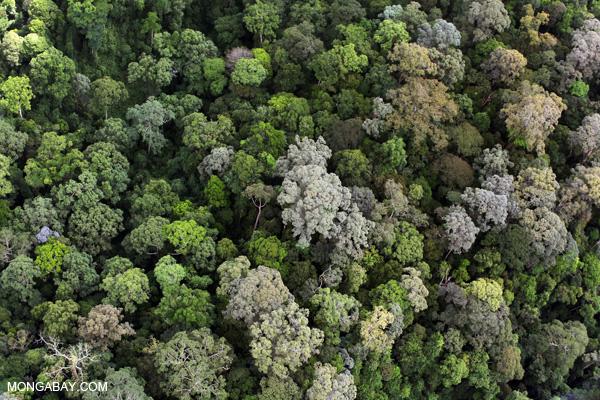 Bosque tropical húmedo en Borneo. Muchas de las variadas noticias de este año fueron positivas en potencia para la selva tropical del mundo. Foto por: Rhett A. Butler.