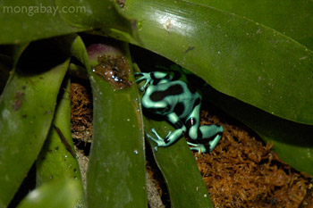 Green and black poison dart frog from Costa Rica