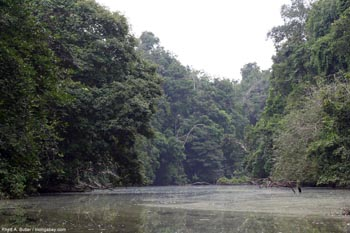 Rainforest sungai di Gabon