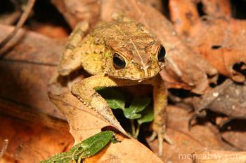 Rainforest frog in leaf litter