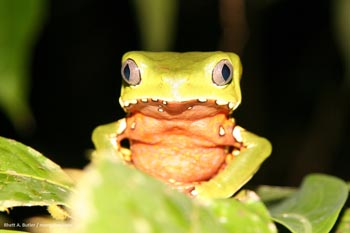Giant monkey frog in Peru