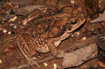 Cane toad in Peru