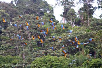 Biru-dan-kuning macaw