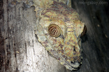 Giant flattail gecko in Madagascar