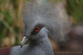 Victoria Crowned Pigeon from New Guinea