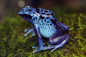 Blue arrow poison frog from Suriname