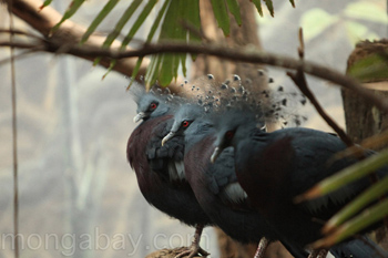 Victoria crowned pigeons in captivity