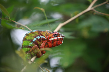 Male panther chameleon with breeding coloration