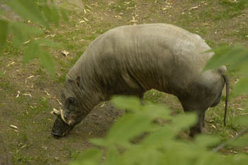 Babirussa macho