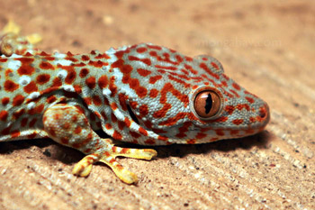 	Tokay Gecko (Gekko gecko)	
