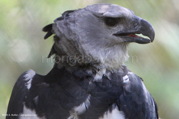 Harpy eagle in captivity in Belize