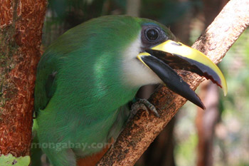 Emerald toucanet in Belize