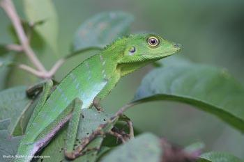 Hijau Crested Lizard (Bronchocela cristatella) di Borneo Malaysia