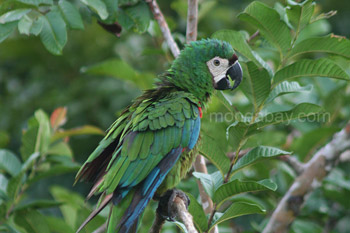Green macaw in Colombia