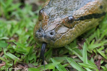 Anaconda in Colombia