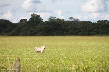 Peternakan sapi di Amazon Brasil