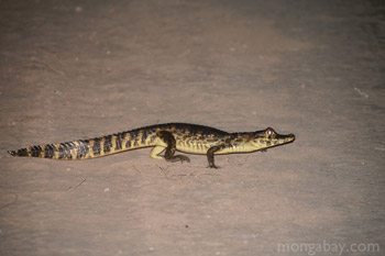 Caiman crossing a road in the Brazilian Pantanal