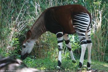 Okapi