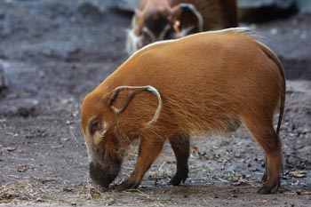 Río Red Hog