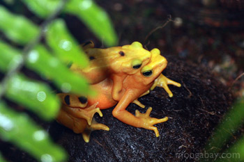 Panama golden frogs mating at the Bronx Zoo
