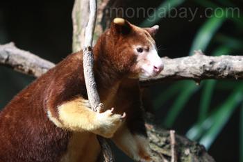 Huon Tree-kangaroo