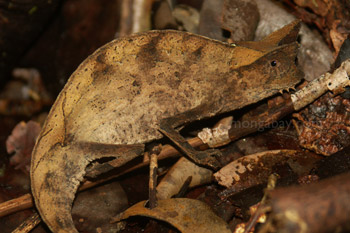 Brown daun bunglon (Brookesia superciliaris)